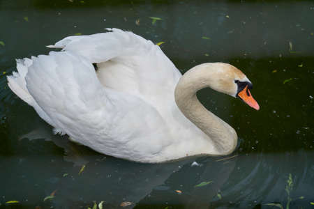 White swan swims in a pond. Close-up