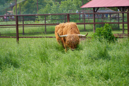 Scottish cattle, highland breed cow. Animal grazing on a farm on a green field