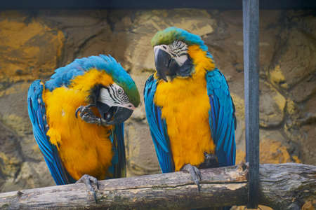 Pair of blue-yellow ara, Ara ararauna, sitting on a branch next to the house
