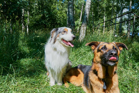 Australian Shepherd and German Shepherd on green grass. Australian Shepherd sitting, German Shepherd lying