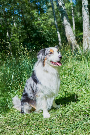Australian Shepherd with rare eye heterochromia. One eye is light blue the other eye is brown. The dog is sitting on the green grass. Foto de archivo