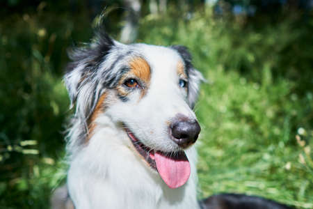 Portrait of an Australian Shepherd with rare ocular heterochromia. One eye is light blue, the other brown. The dog sits on green grass on its hind legs and looks at the camera Foto de archivo