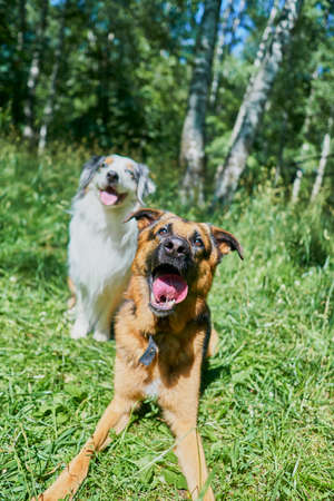 Australian Shepherd and German Shepherd on green grass. Australian Shepherd sitting, German Shepherd lying