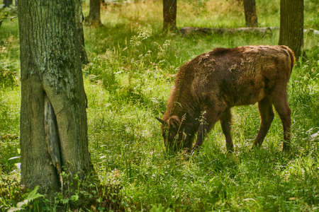 A bison calf grazes in the forest among the trees Foto de archivo