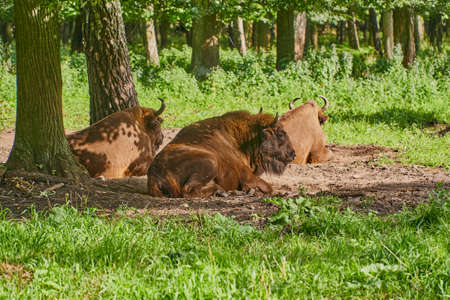 A family of bison rests in a clearing in the forest. Male and two females