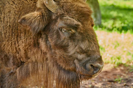 Bison portrait against green grass background. Close-up