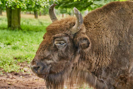 Portrait of a female bison on a background of green grass. Close-up