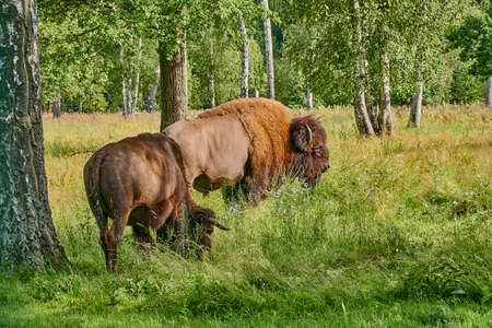 A family of bison grazes in a clearing in the forest. Male and female