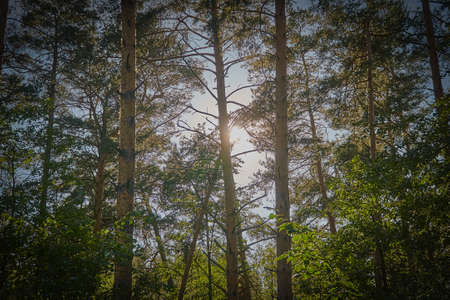Early morning sun in a pine forest. The sun shines through the tree trunks Foto de archivo