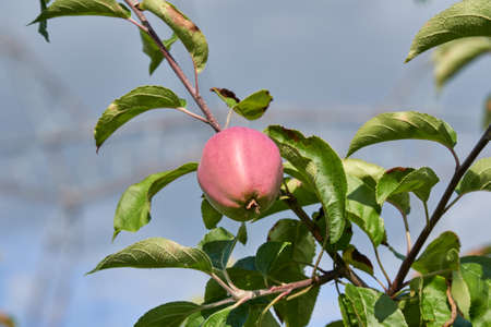 Harvesting. Pink ripe apple on a green branch. Close-up