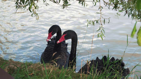 Black swans swims in a pond. Close-up Foto de archivo