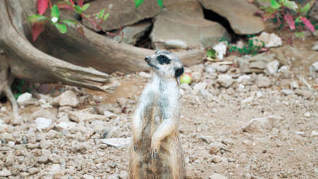The meerkat stands on its hind legs and looks away Foto de archivo