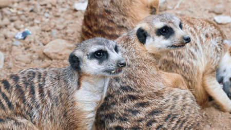 A family of meerkats lies on the sand and looks away Foto de archivo
