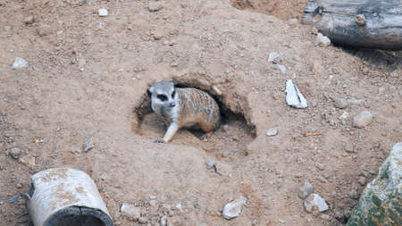 Little meerkat peeking out of the den