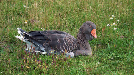 Ural gray goose sits on green grass and looks at the camera