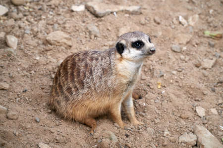 Little meerkat sitting on the sand and looks away