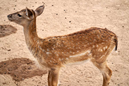 Sika deer, Cervus nippon also known as the spotted deer or the Japanese deer. Little deer stands on the sand