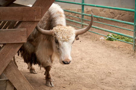 A domestic yak stands in the pen next to the feeder. Rural scene