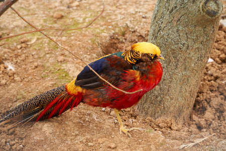 Golden pheasant stands on the sand near a tree. Close-up