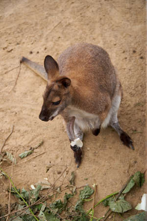 Kangaroo sits on the sand with food in its paw. View from above