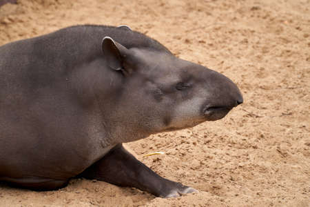 South American tapir lies on the sand and sleeps. Portrait of a tapir. Close-up Archivio Fotografico