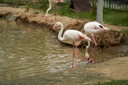 Pink flamingos stand in water on a background of green grass