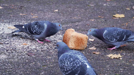 Wild birds in the street. Three pigeons eating a bread in the street