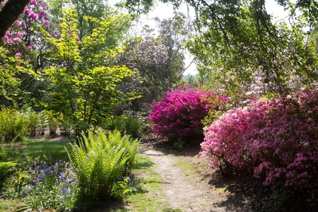 azalea: Furzey - English country garden in spring
