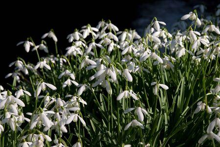 wiltshire: Snowdrops at Heale House, Wiltshire