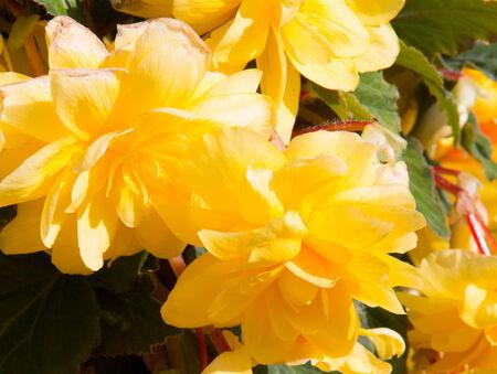 trailing: Trailing begonias