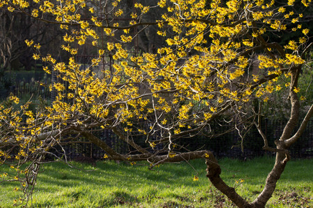 Witch hazel  1  photo