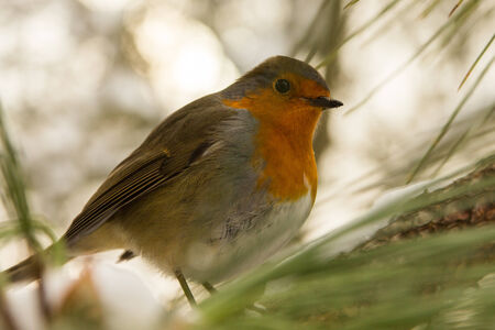 Robin in winter  1  photo