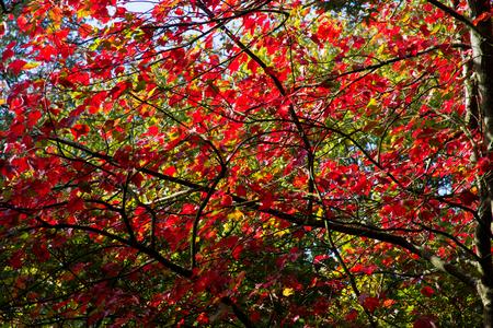 acer: Autumnal acer