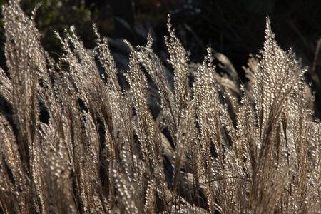 gramineas: Pastos de invierno Foto de archivo