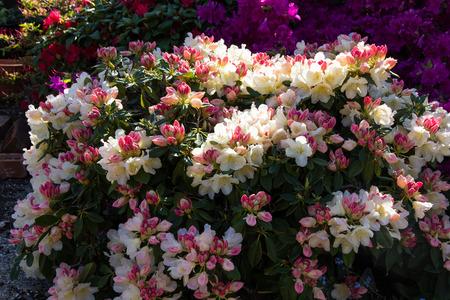 grumpy: Rhododendron Grumpy Stock Photo