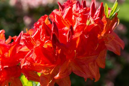 scarlet: Scarlet Azalea