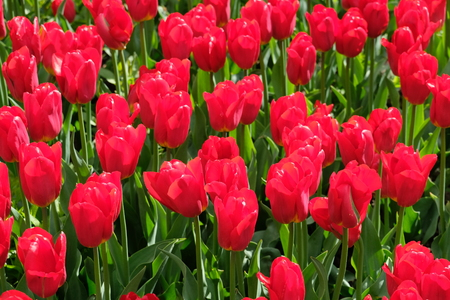 Red tulips - VDNH - Moscow, Russia