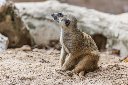 Meerkat sitting in the sand photo