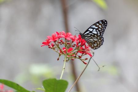 butterflies nectar: Butterflies are nectar flowers