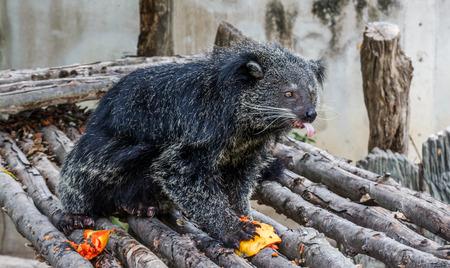 bearcat: Binturong or Bearcat eating papaya Stock Photo