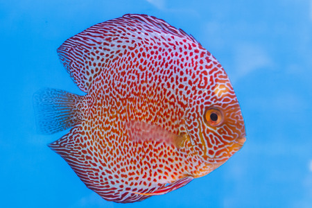 discus fish: Discus fish, red Symphysodon Discus in aquarium  Stock Photo