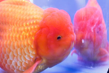 Goldfish in a glass cabinet