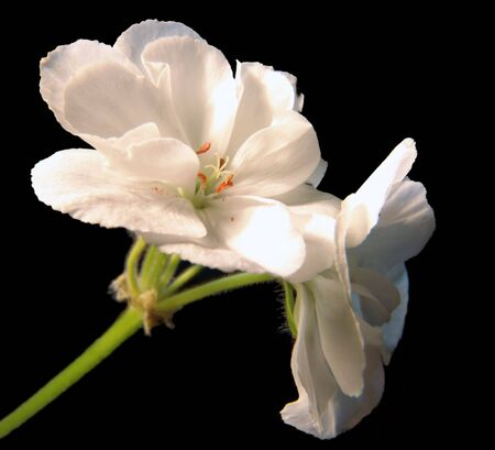 A white geranium flower, isolated