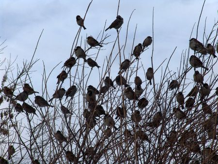 A flight of sparrows sitting on a tree Stock Photo