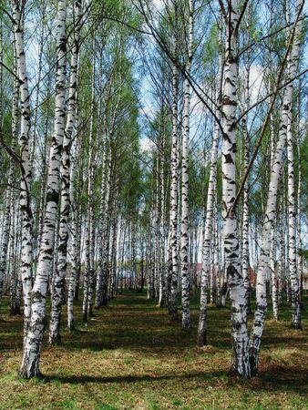 Birch rows in a village Stock Photo