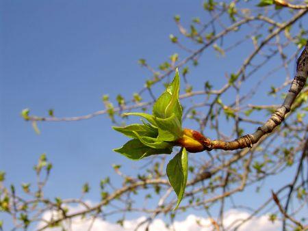 Poplar tree leaves in spring