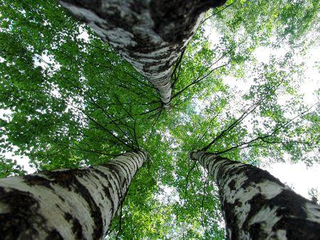 A triple birch view Stock Photo