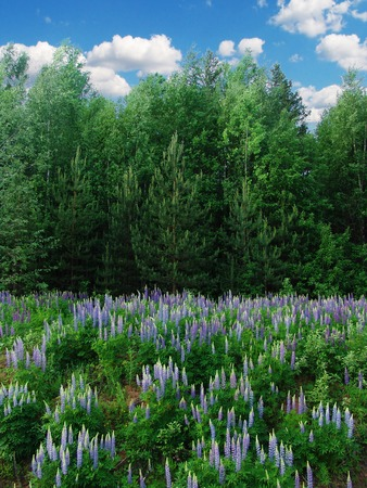 Lupine flowers next to a forest and blue sky above Imagens