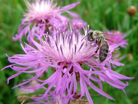 A bee gathering pollen on a thistle flower
