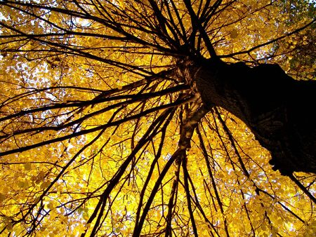 A large tree with yellow foliage view from bottom to top Stock Photo